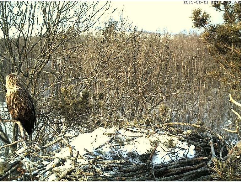 White-tailed Eagle Nest Cam 2013 Sunbat12