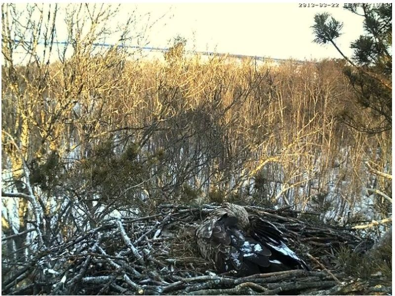 White-tailed Eagle Nest Cam 2013 Tudib10