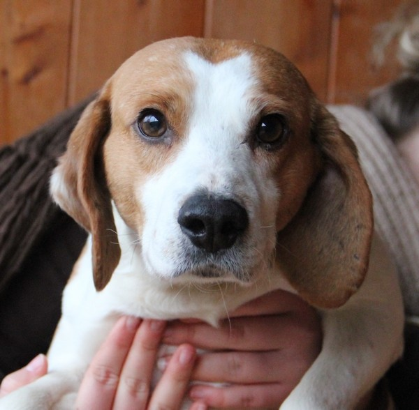 VOLVIC, croisé beagle mâle, 6 ans (72) B_311