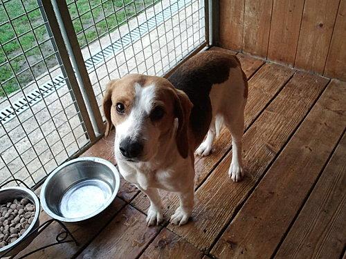 VOLVIC, croisé beagle mâle, 6 ans (72) Photo011