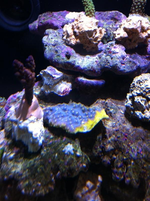 turbinaria violet polypes jaune Img_0411