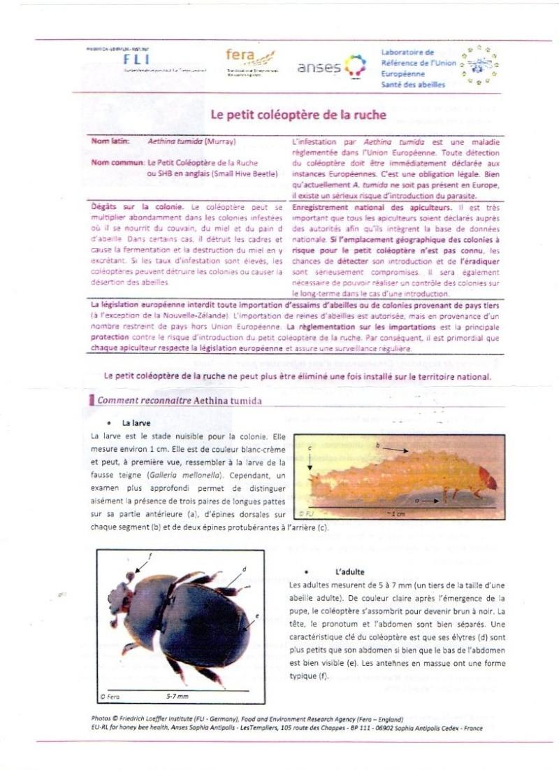 Le petit coléoptère, alias Aethina tumida Petit_10