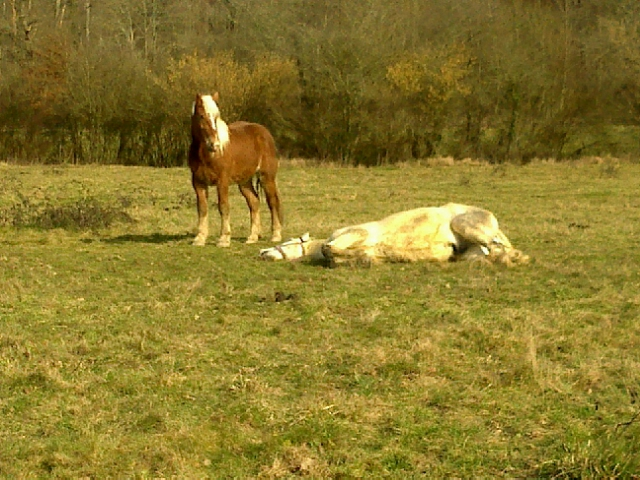 Thème de Mai 2013 : Le Cheval en pleine sieste!! 01032010