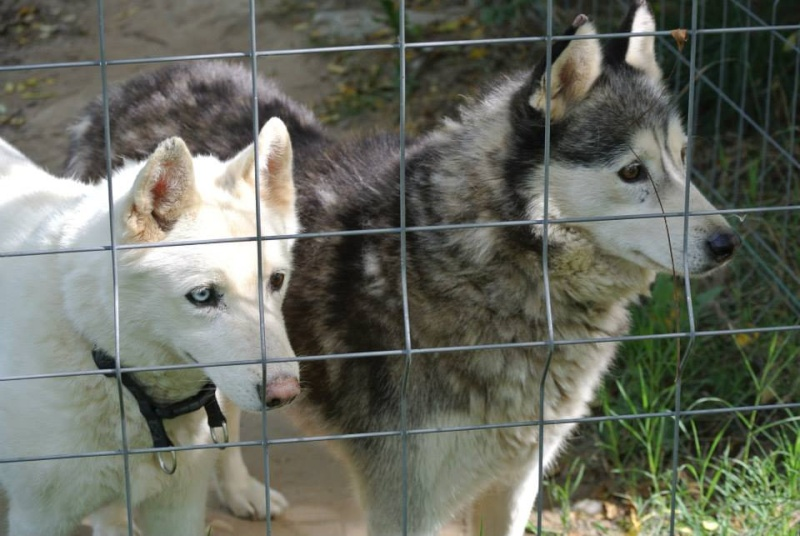 Theo husky 12 ans ok femelles pas de chats ASSO39 10301110