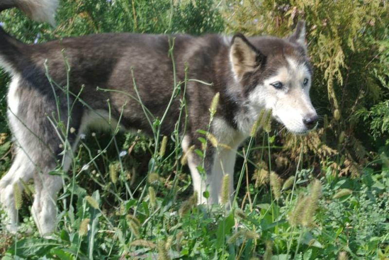 LUNA Husky 4/5 ANS pas ok chien URGENCE ROUMANIE  ADOPTEE 10440610
