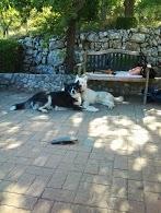 Chispi mâle malamute/husky de 8 ans a passé sa vie attaché (Alava, Espagne ) - Page 8 20130810