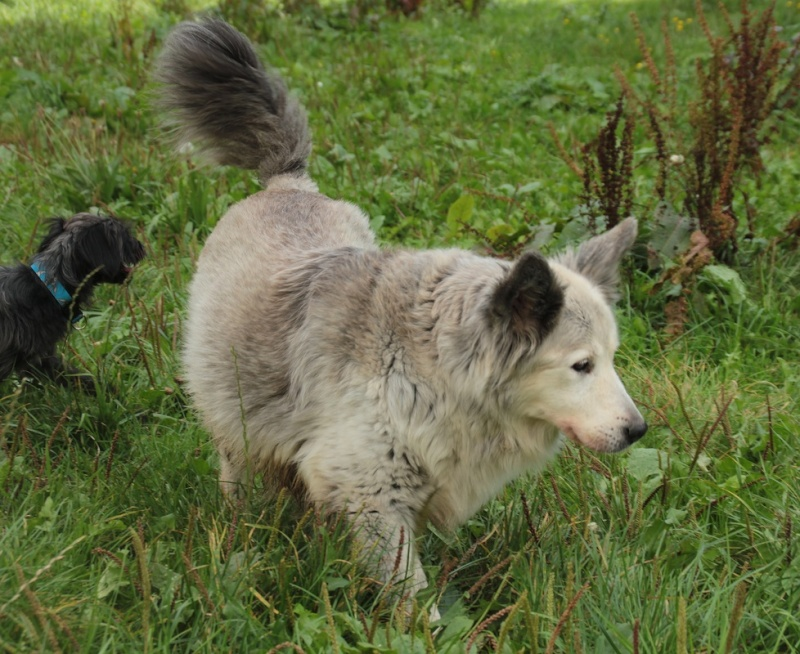 Gizmy x husky (f) 2007/ superbe et douce REF:55  DECEDEE 55096310