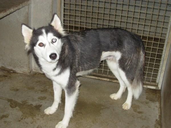 Ina Husky (f) 07/01/2012/ REFU13 Adopter Dscn6610