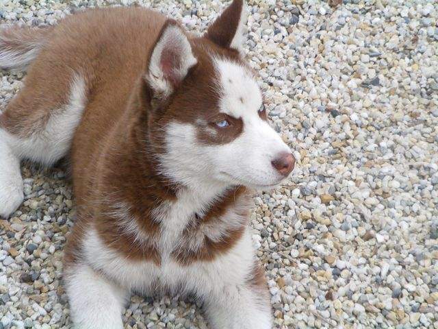 KOBE husky de sibérie (m) 8 mois marron et blanc yeux bleus PAR:33  DECEDE Kobe110