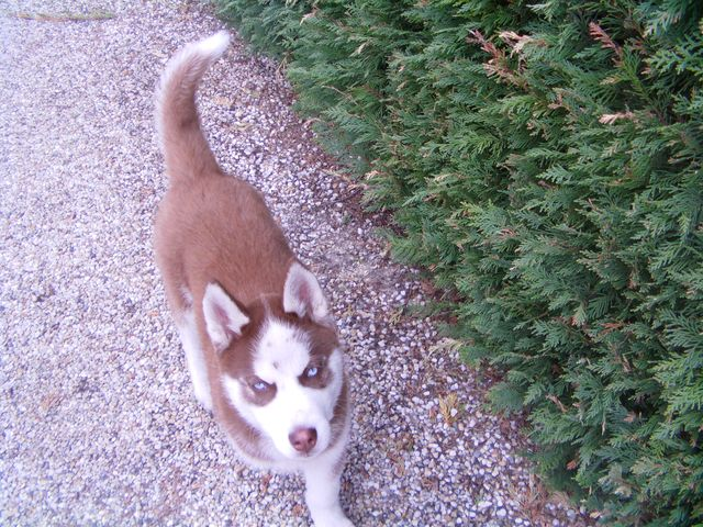 KOBE husky de sibérie (m) 8 mois marron et blanc yeux bleus PAR:33  DECEDE Kobe310