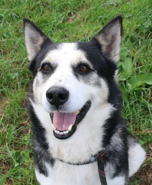 WIKI, x Husky noir et blanc, né 06/2009, ok chiens chats REFU:29  Wiki2_10