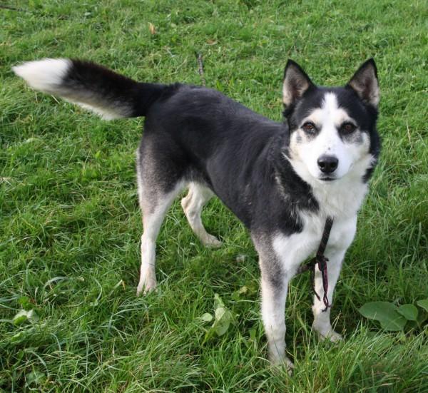 WIKI, x Husky noir et blanc, né 06/2009, ok chiens chats REFU:29  Wiki3_10