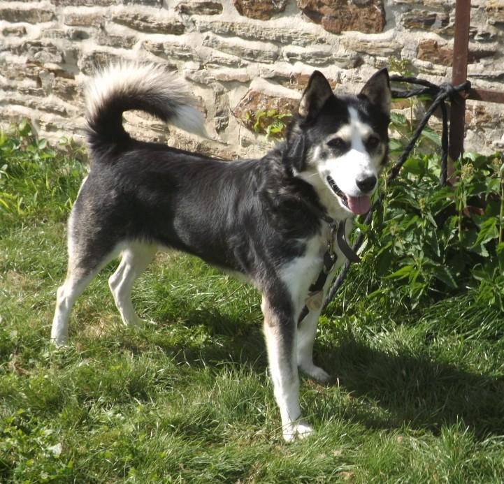 WIKI, x Husky noir et blanc, né 06/2009, ok chiens chats REFU:29  Wiki_010