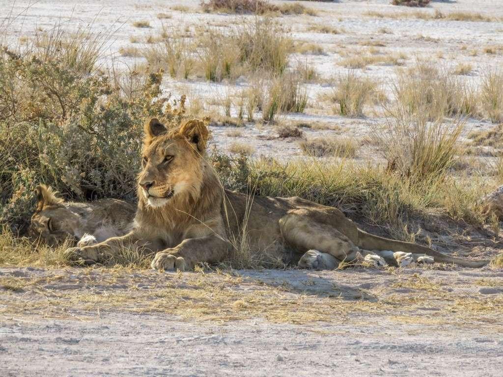 Jeunes lions (correction et MAJ) Img_0010