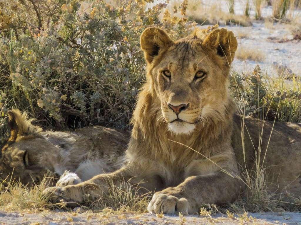 Jeunes lions (correction et MAJ) Img_0011