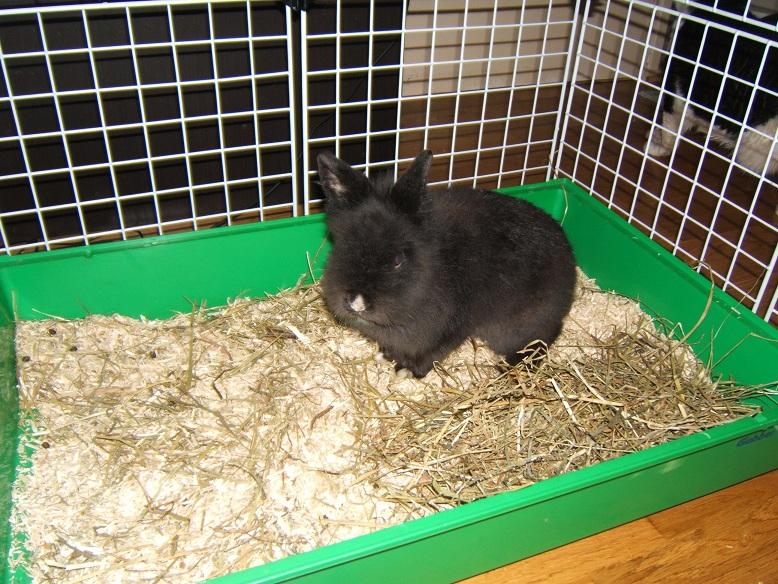 César, lapin nain adulte, noir Dscf6411