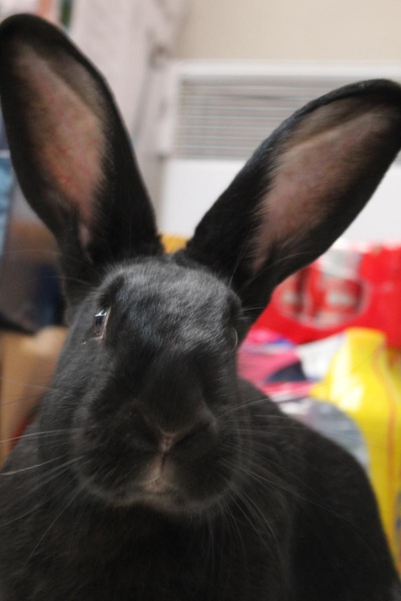 Edenne, belle lapine noire grand gabarit (association Poil de Carotte) 59 Img_7211