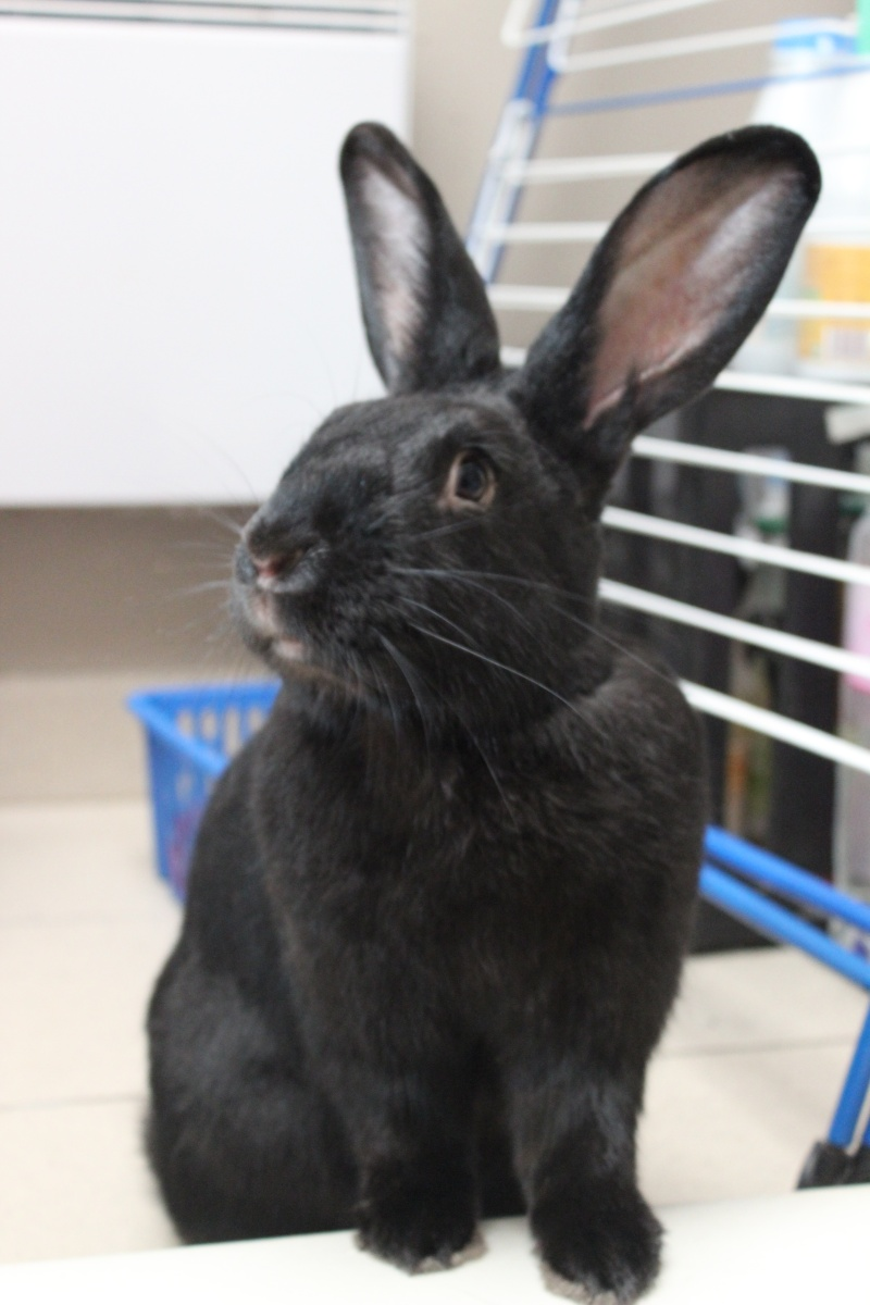 Edenne, belle lapine noire grand gabarit (association Poil de Carotte) 59 Img_7310