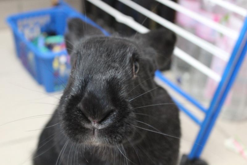 Edenne, belle lapine noire grand gabarit (association Poil de Carotte) 59 Img_7311