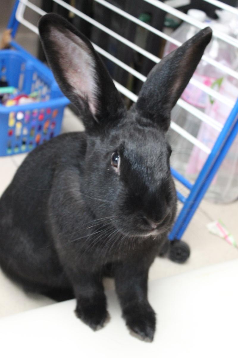 Edenne, belle lapine noire grand gabarit (association Poil de Carotte) 59 Img_7312
