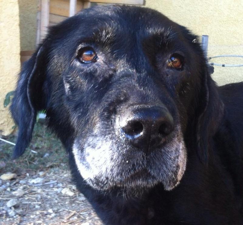 Ebene, labrador noire 10-13 ans (34) Ebene10