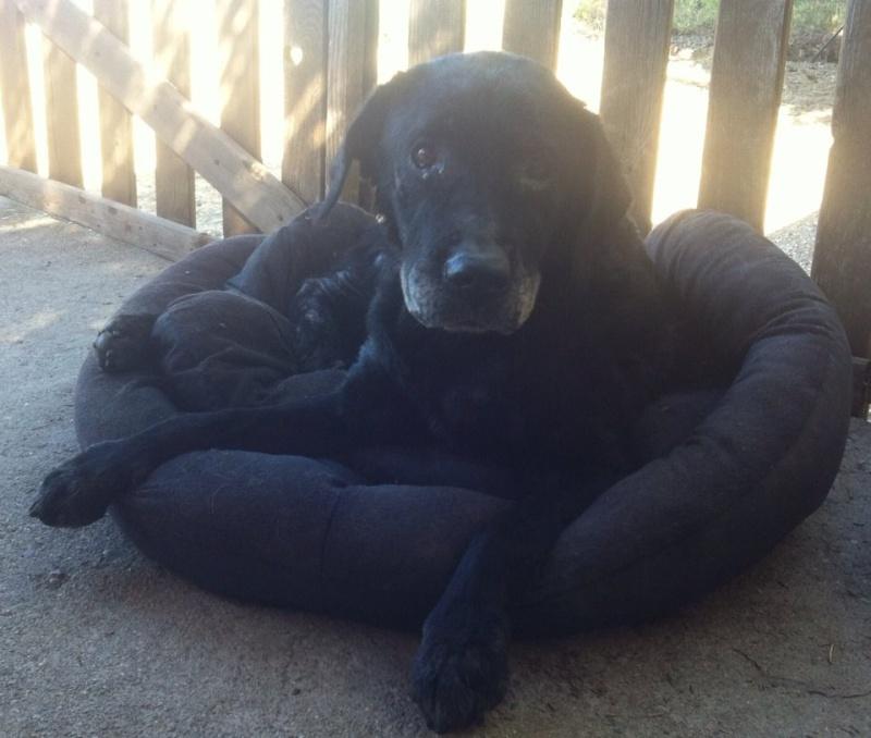 Ebene, labrador noire 10-13 ans (34) Ebene810