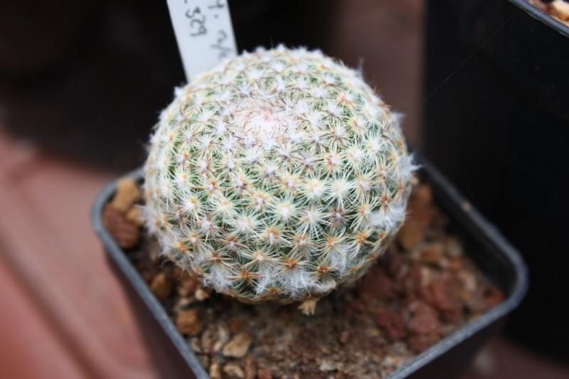 huitzilopochtli - Mammillaria huitzilopochtli Huitzi10