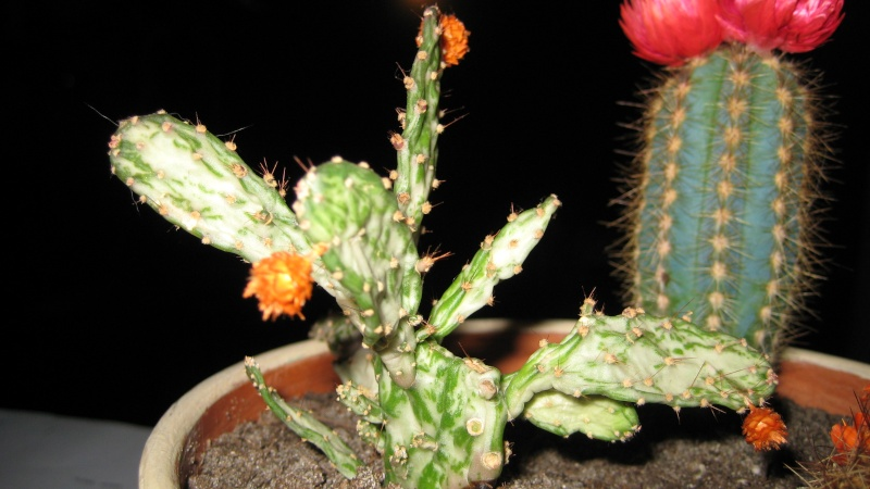 Les cactus Img_0011