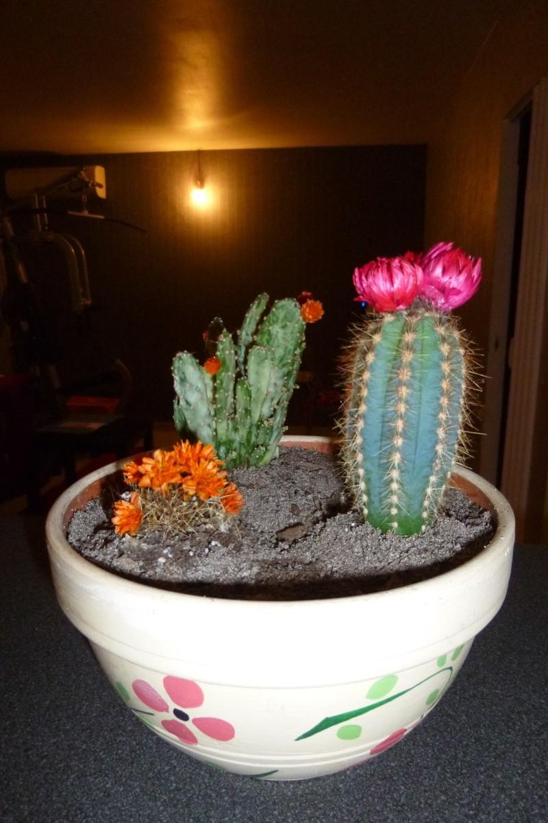 Les cactus P1010011