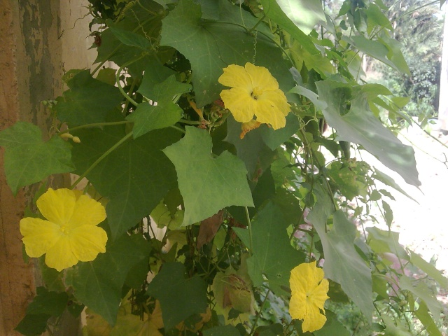 La Louffa (éponge végétale) Photo022