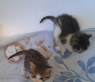 3 chatons 1 mois Var 3_chat10