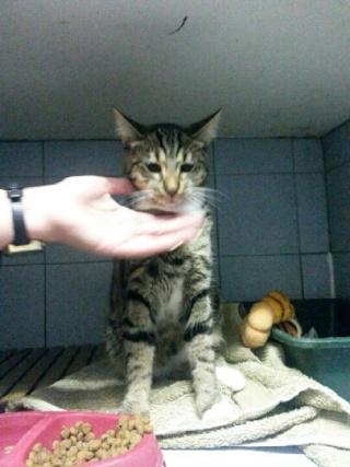 Chat mâle tigré gris, 8 mois, Var Chat_c10