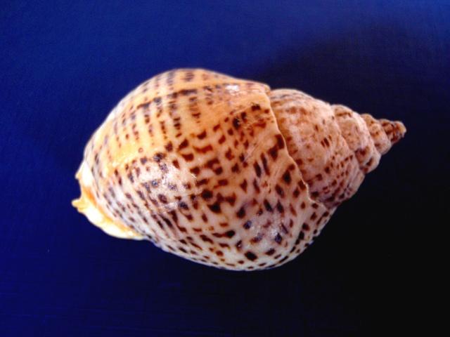Cominella adspersa - (Bruguière, 1789) P2080013