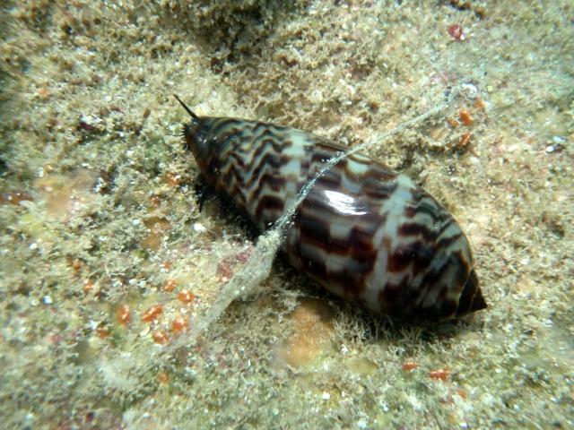 Mauritia eglantina - (Duclos, 1833) - Live P2200012