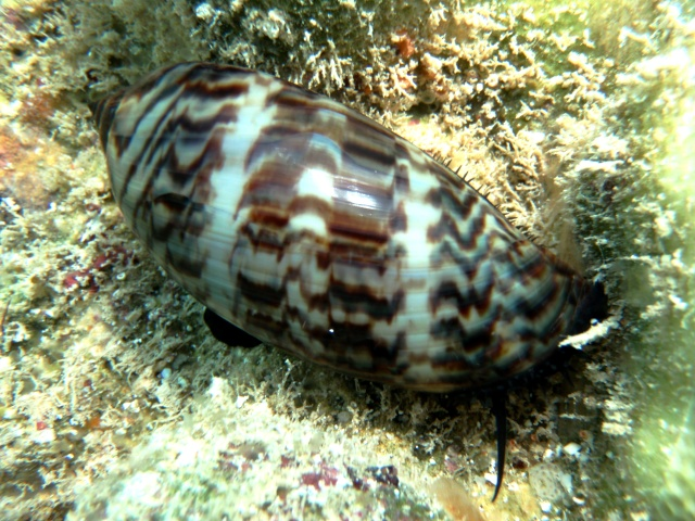 Mauritia eglantina - (Duclos, 1833) - Live P2200014