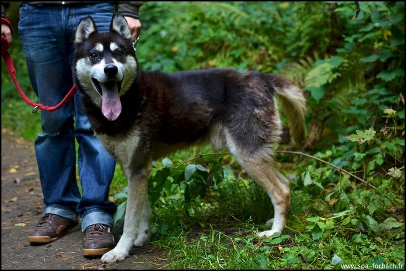 ASTER husky mâle né en 2005 - Refuge SPA de Forbach REF:57  Aster210