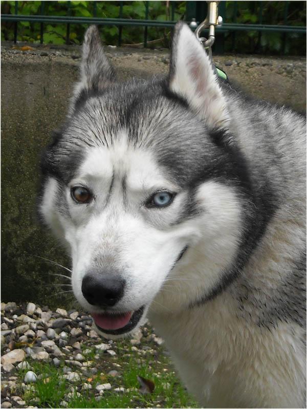 BALTO husky né 02/2004/a beaucoup de chagrin/ok congénères REF:01  Dbalto10