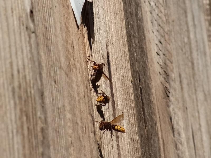 nid de vespa crabro Rimg1515