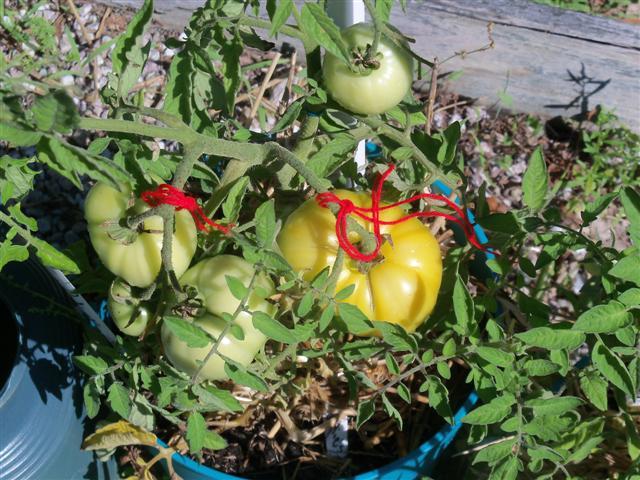 Better Bush Hybird Tomatoes! 07-30-13