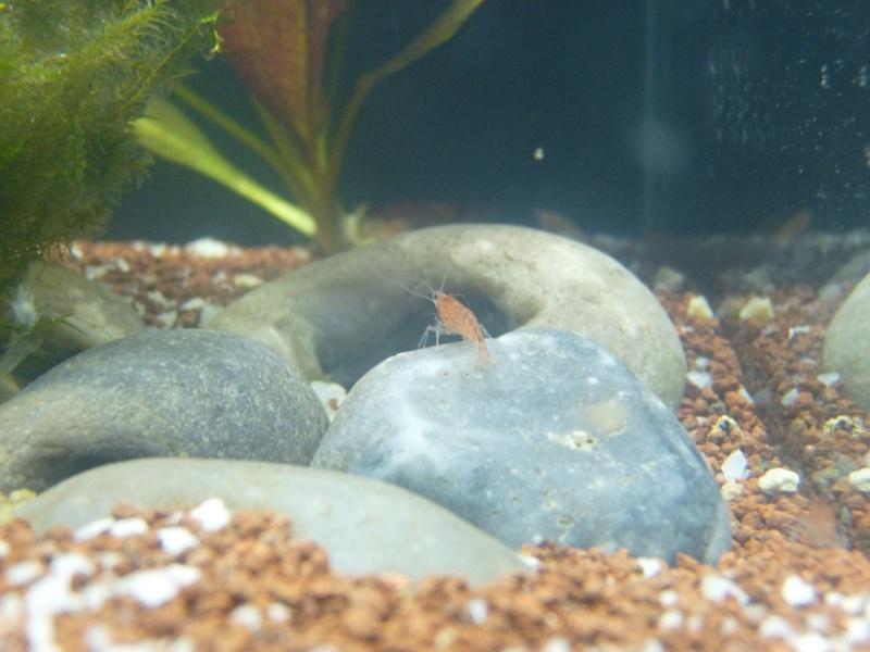 Mon nouveau nano 25 litres spécifique crevettes red cherry P1020831