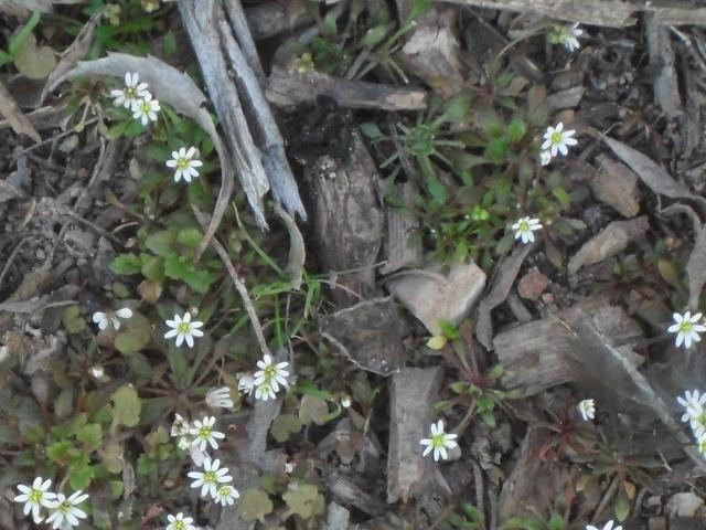 pour identification: Drave printanière : Erophilia verna Blanch12