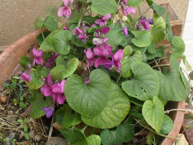 Les violettes - Page 3 Viola_10