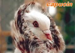 Les Pigeons d'ornement (fantaisie) Capuci10