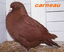 Les Pigeons d'ornement (fantaisie) Carnea10