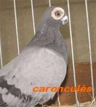 Les Pigeons d'ornement (fantaisie) Caro310