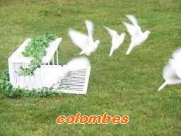 Les Pigeons d'ornement (fantaisie) Colomb10
