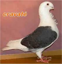 Les Pigeons d'ornement (fantaisie) Cravat10