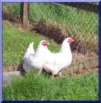 la poule Charollaise Jeunes10