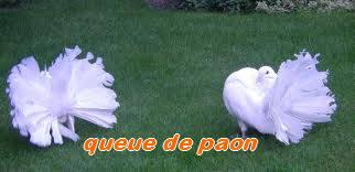 Les Pigeons d'ornement (fantaisie) Paon10