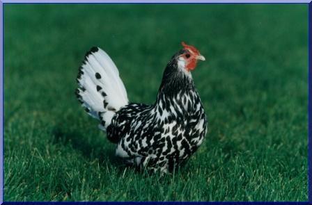 la poule Hambourg Poule10